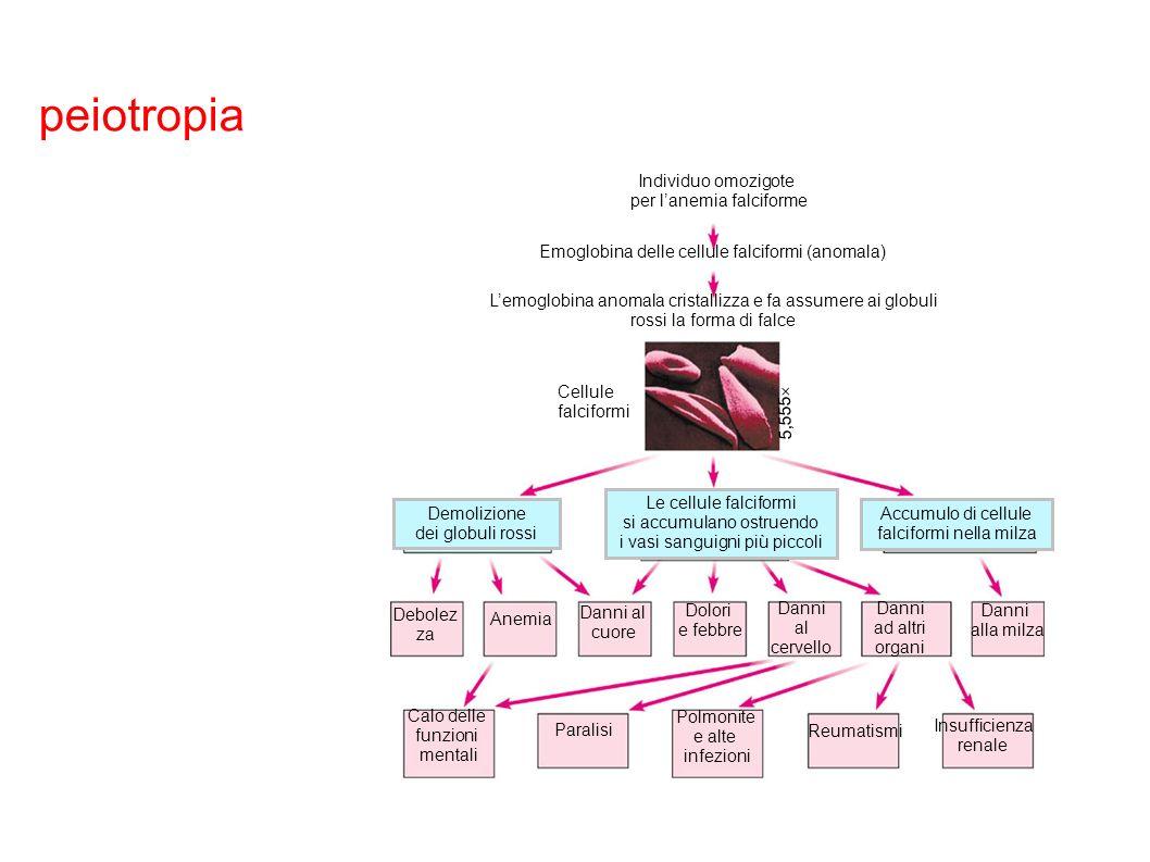 peiotropia Individuo omozigote per lanemia falciforme Lemoglobina anomala cristallizza e fa assumere ai globuli rossi la forma di falce Emoglobina del