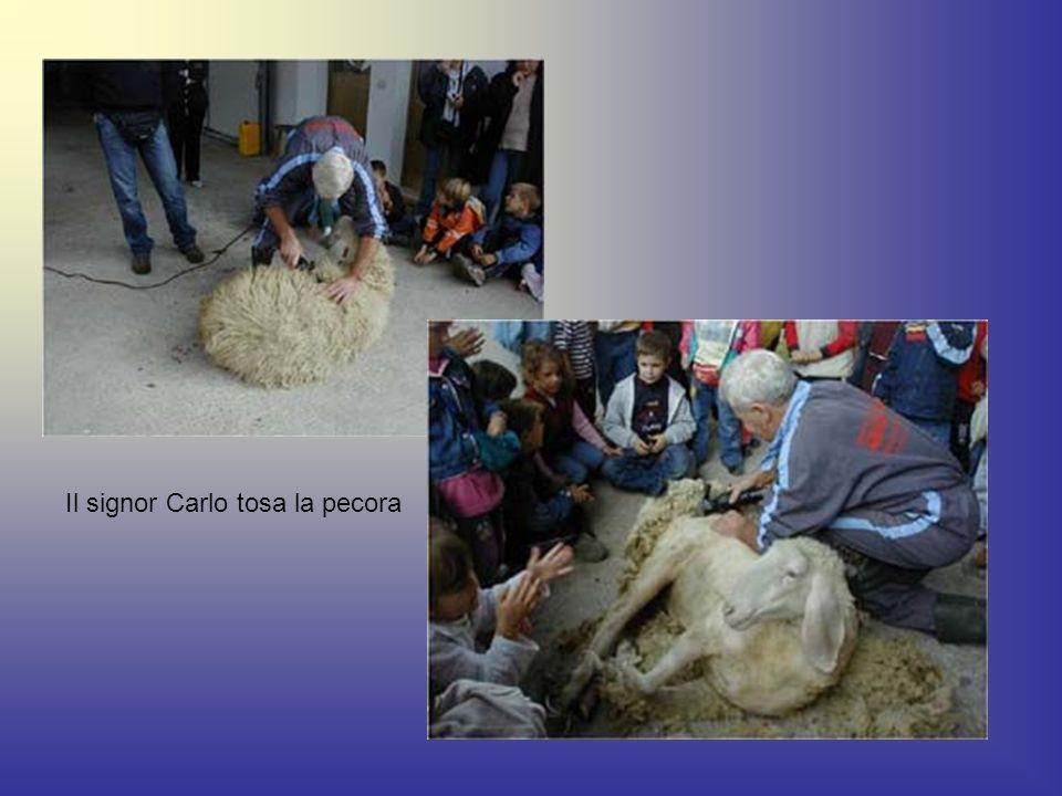 Il signor Carlo tosa la pecora