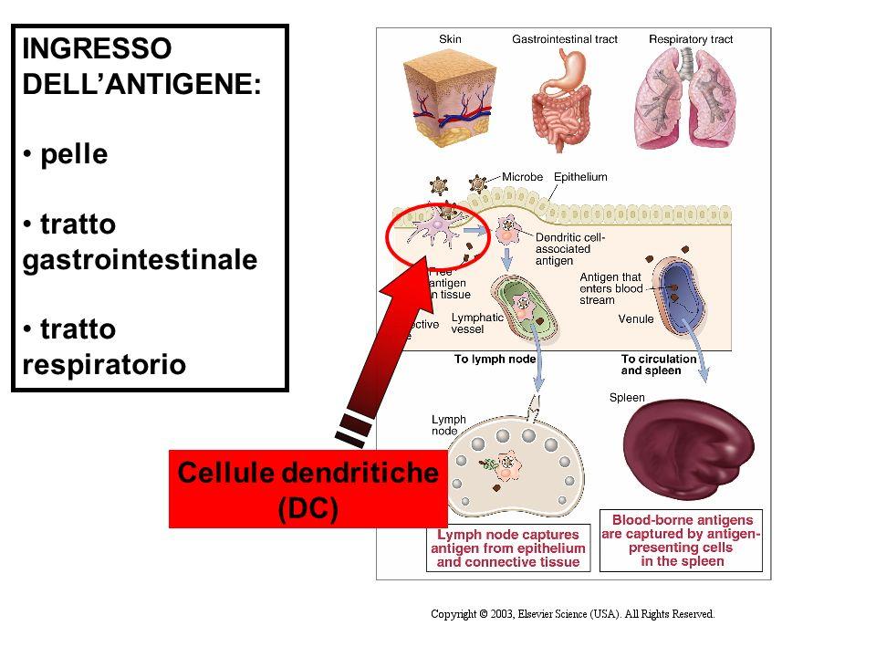 INGRESSO DELLANTIGENE: pelle tratto gastrointestinale tratto respiratorio Cellule dendritiche (DC)