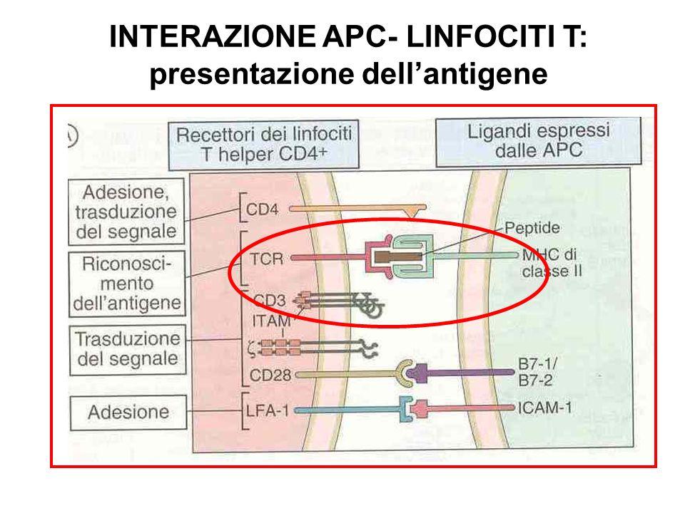 INTERAZIONE APC- LINFOCITI T: presentazione dellantigene