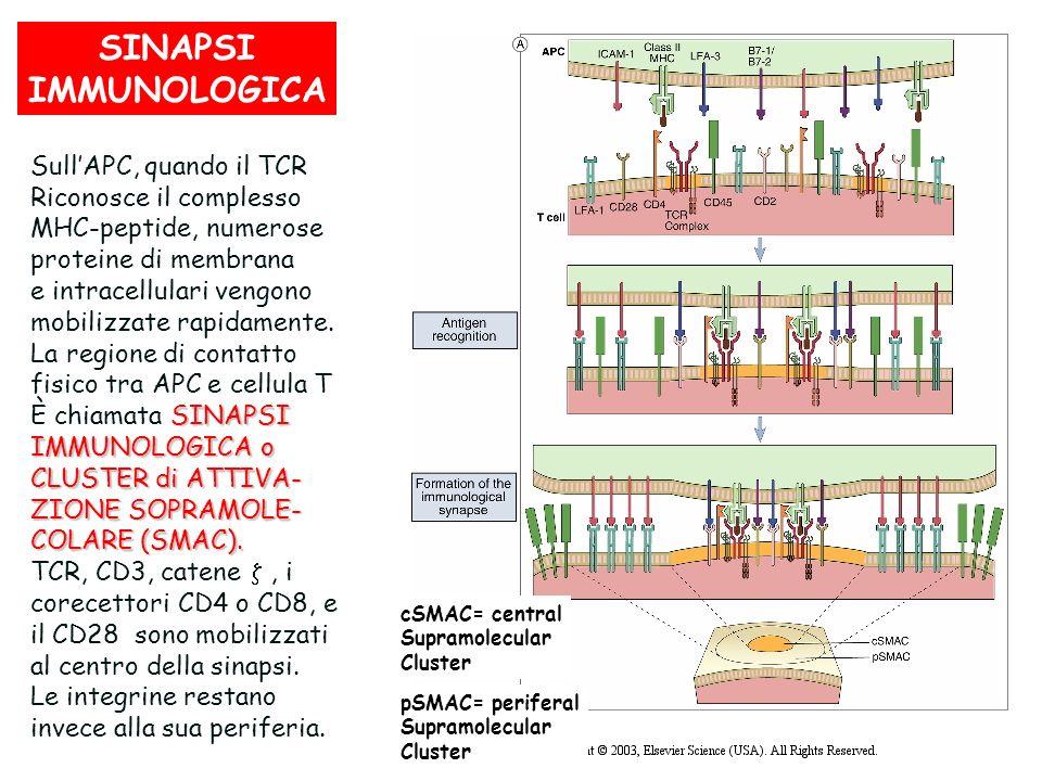 SINAPSI IMMUNOLOGICA cSMAC= central Supramolecular Cluster SullAPC, quando il TCR Riconosce il complesso MHC-peptide, numerose proteine di membrana e