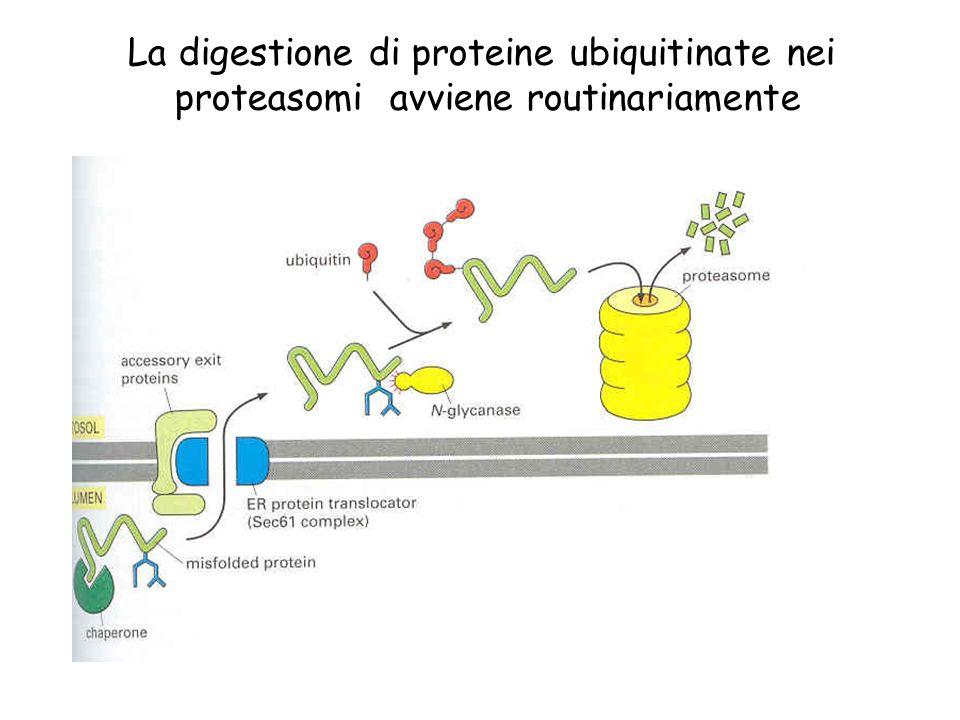 La digestione di proteine ubiquitinate nei proteasomi avviene routinariamente