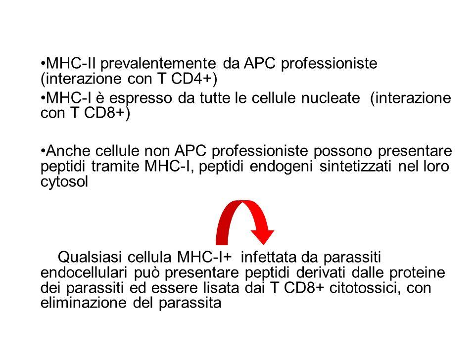 MHC-II prevalentemente da APC professioniste (interazione con T CD4+) MHC-I è espresso da tutte le cellule nucleate (interazione con T CD8+) Anche cel