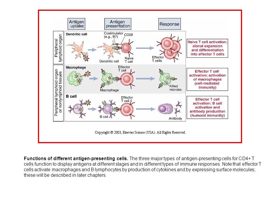 From: William E.Paul Fundamental Immunology , Fourth ed.