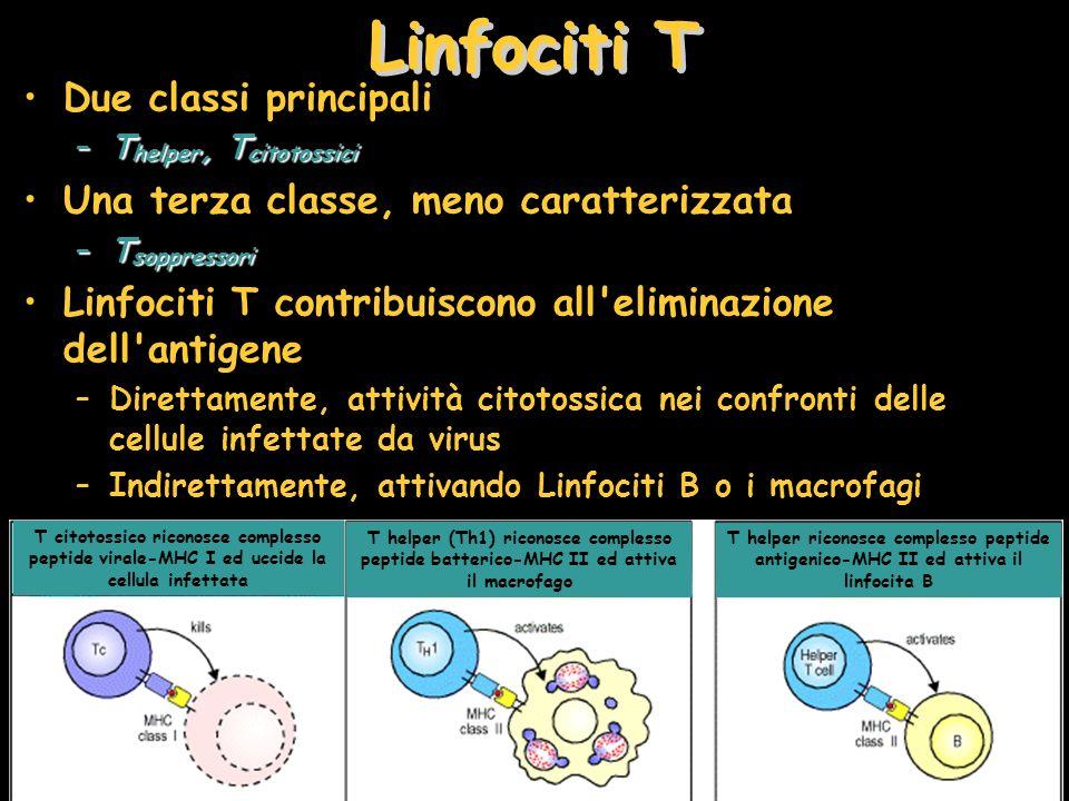 Due classi principali –T helper, T citotossici Una terza classe, meno caratterizzata –T soppressori Linfociti T contribuiscono all'eliminazione dell'a