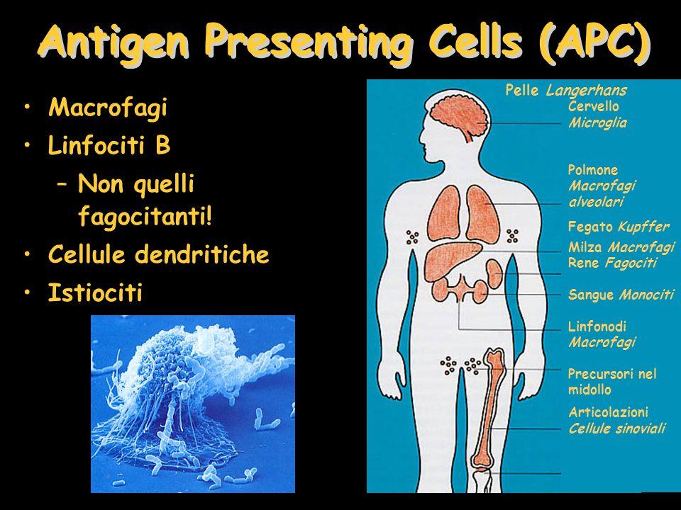 Macrofagi Linfociti B –Non quelli fagocitanti! Cellule dendritiche Istiociti Antigen Presenting Cells (APC) Cervello Microglia Polmone Macrofagi alveo