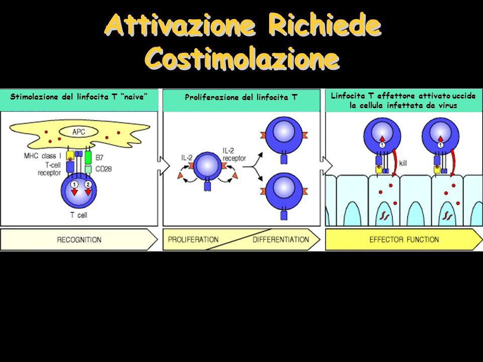 Attivazione Richiede Costimolazione Stimolazione del linfocita T naive Proliferazione del linfocita T Linfocita T effettore attivato uccide la cellula