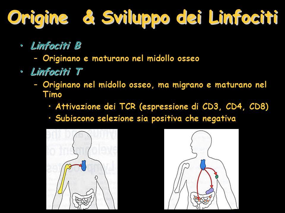 Origine & Sviluppo dei Linfociti Linfociti BLinfociti B –Originano e maturano nel midollo osseo Linfociti TLinfociti T –Originano nel midollo osseo, m