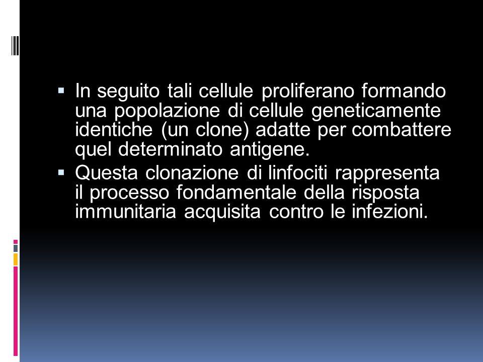 In seguito tali cellule proliferano formando una popolazione di cellule geneticamente identiche (un clone) adatte per combattere quel determinato anti
