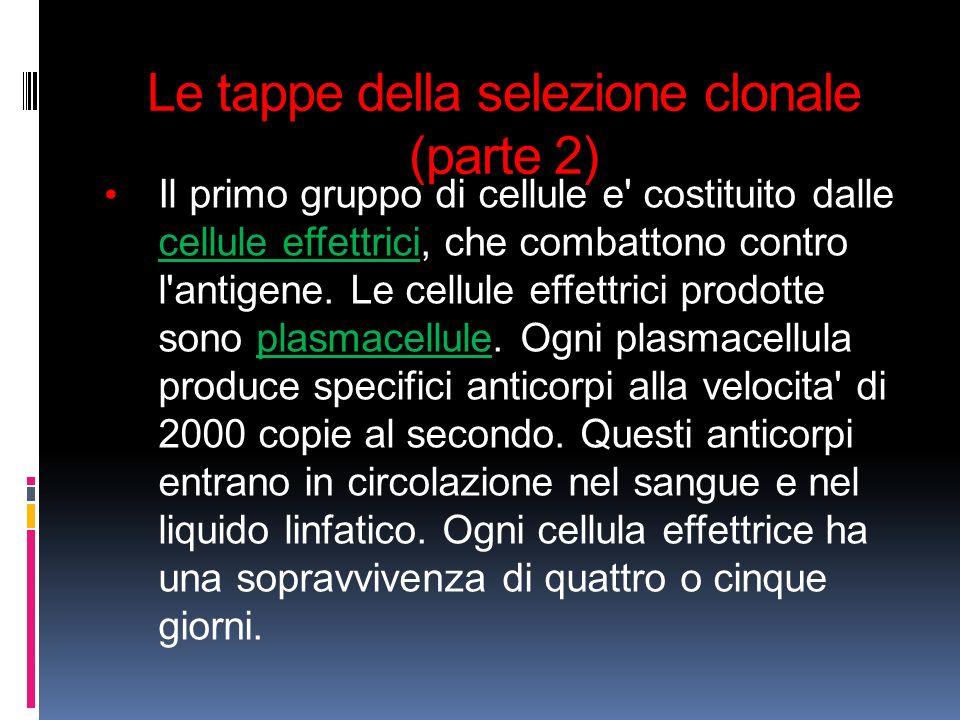 Le tappe della selezione clonale (parte 2) Il primo gruppo di cellule e' costituito dalle cellule effettrici, che combattono contro l'antigene. Le cel