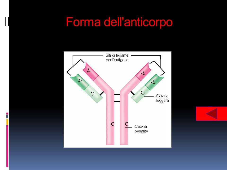 Forma dell'anticorpo