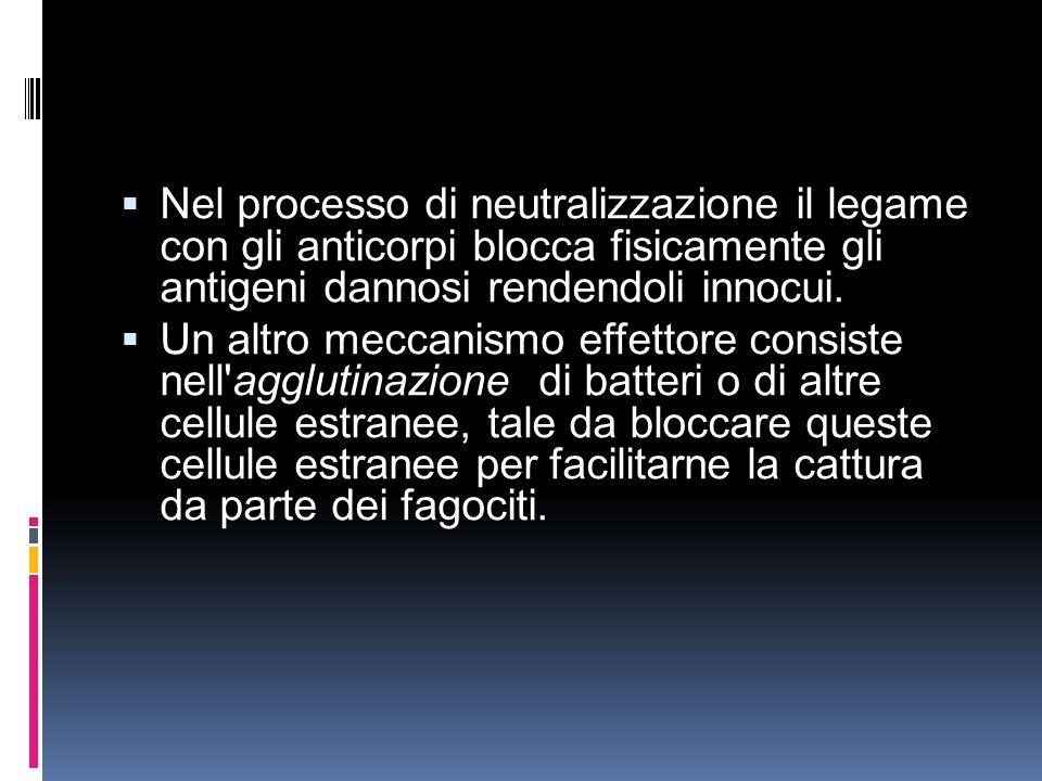 Nel processo di neutralizzazione il legame con gli anticorpi blocca fisicamente gli antigeni dannosi rendendoli innocui. Un altro meccanismo effettore