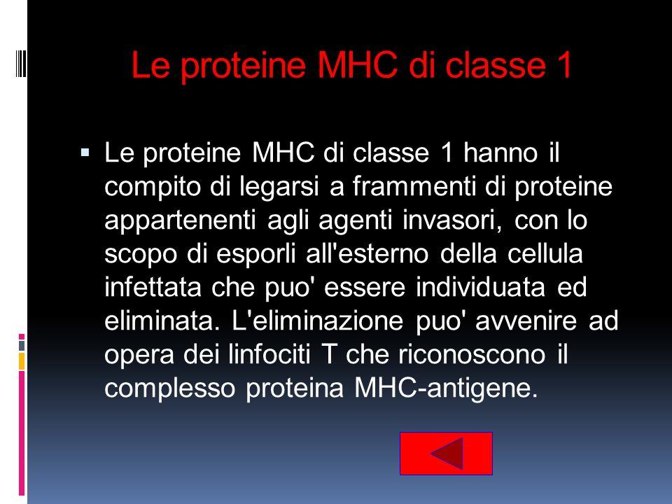 Le proteine MHC di classe 1 Le proteine MHC di classe 1 hanno il compito di legarsi a frammenti di proteine appartenenti agli agenti invasori, con lo