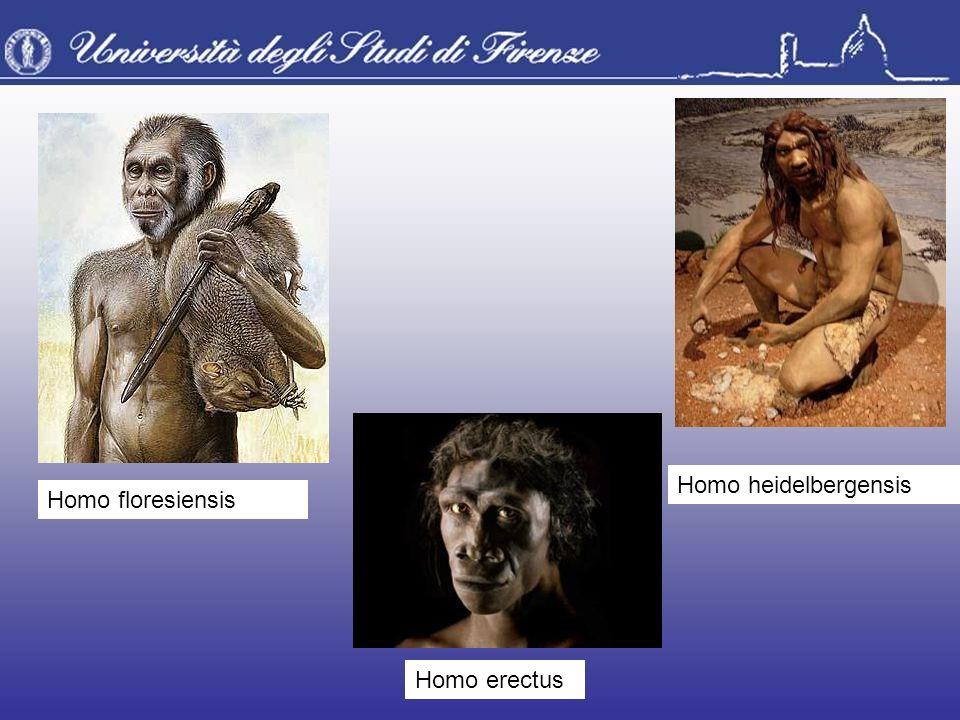 Homo heidelbergensis Homo erectus