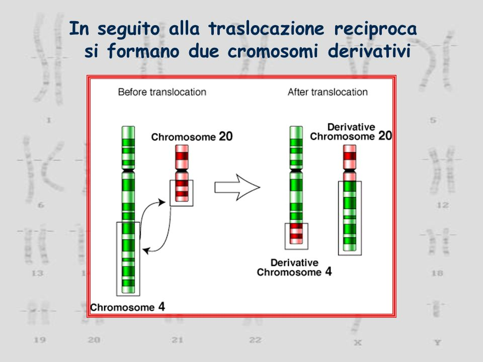 In seguito alla traslocazione reciproca si formano due cromosomi derivativi