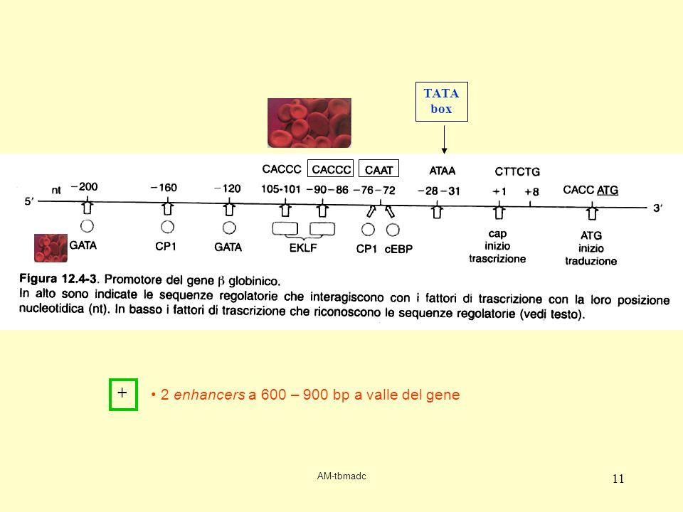 AM-tbmadc 11 TATA box 2 enhancers a 600 – 900 bp a valle del gene +