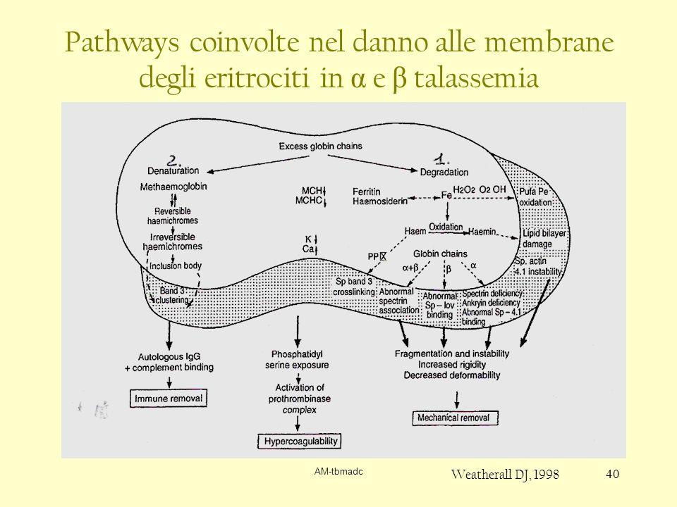 AM-tbmadc 40 Pathways coinvolte nel danno alle membrane degli eritrociti in α e β talassemia Weatherall DJ, 1998