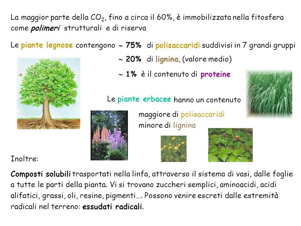 La maggior parte della CO 2, fino a circa il 60%, è immobilizzata nella fitosfera come polimeri strutturali e di riserva Le piante legnose 75% di poli