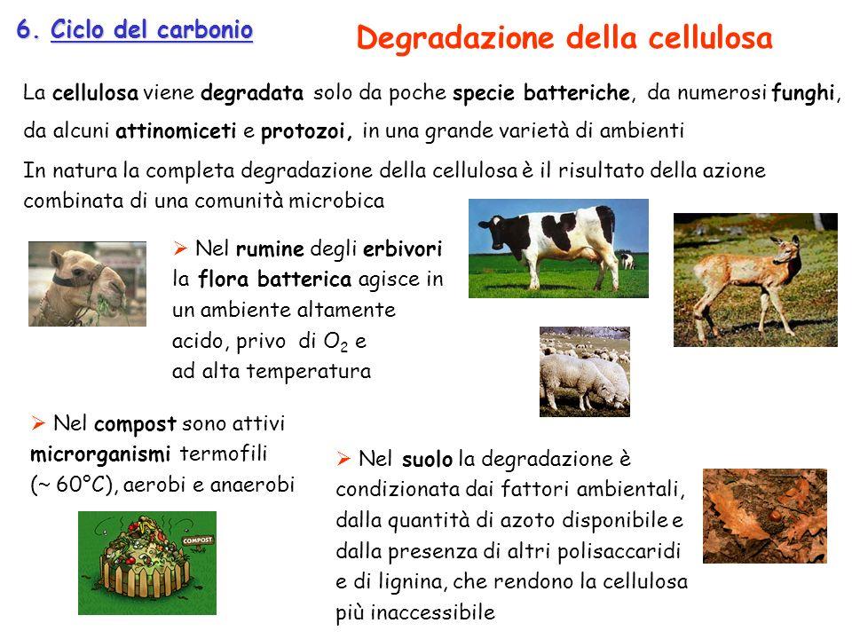 6. Ciclo del carbonio La cellulosa viene degradata solo da poche specie batteriche, da numerosi funghi, da alcuni attinomiceti e protozoi, in una gran
