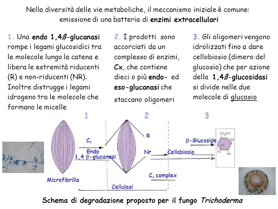 Nella diversità delle vie metaboliche, il meccanismo iniziale è comune: emissione di una batteria di enzimi extracellulari Microfibrilla Cellulasi C x