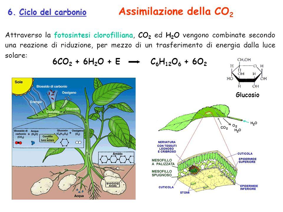 6. Ciclo del carbonio Attraverso la fotosintesi clorofilliana, CO 2 ed H 2 O vengono combinate secondo una reazione di riduzione, per mezzo di un tras