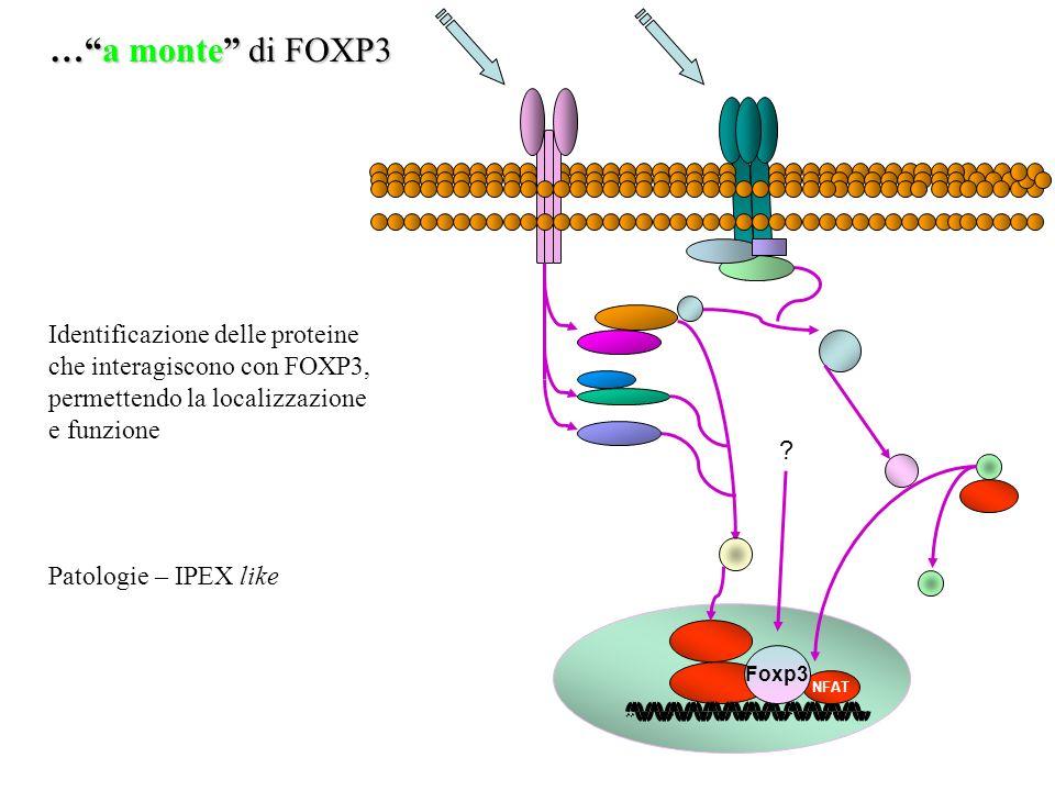 NFAT …a monte di FOXP3 Foxp3 ? Identificazione delle proteine che interagiscono con FOXP3, permettendo la localizzazione e funzione Patologie – IPEX l