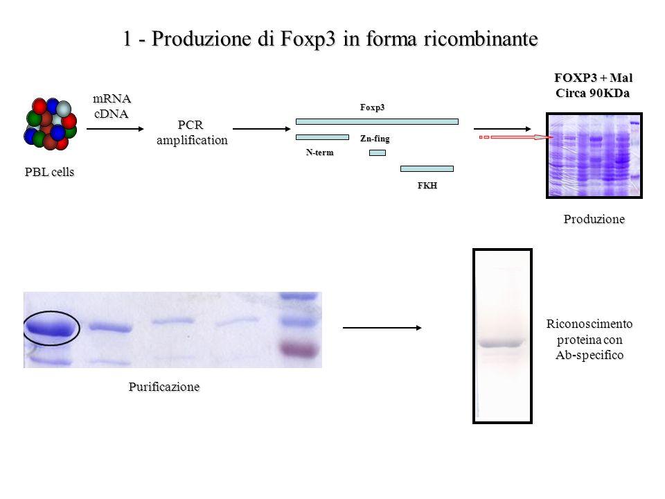 PBL cells mRNAcDNA PCRamplification N-term Zn-fing FKH FOXP3 + Mal Circa 90KDa 1 - Produzione di Foxp3 in forma ricombinante Produzione Riconoscimento