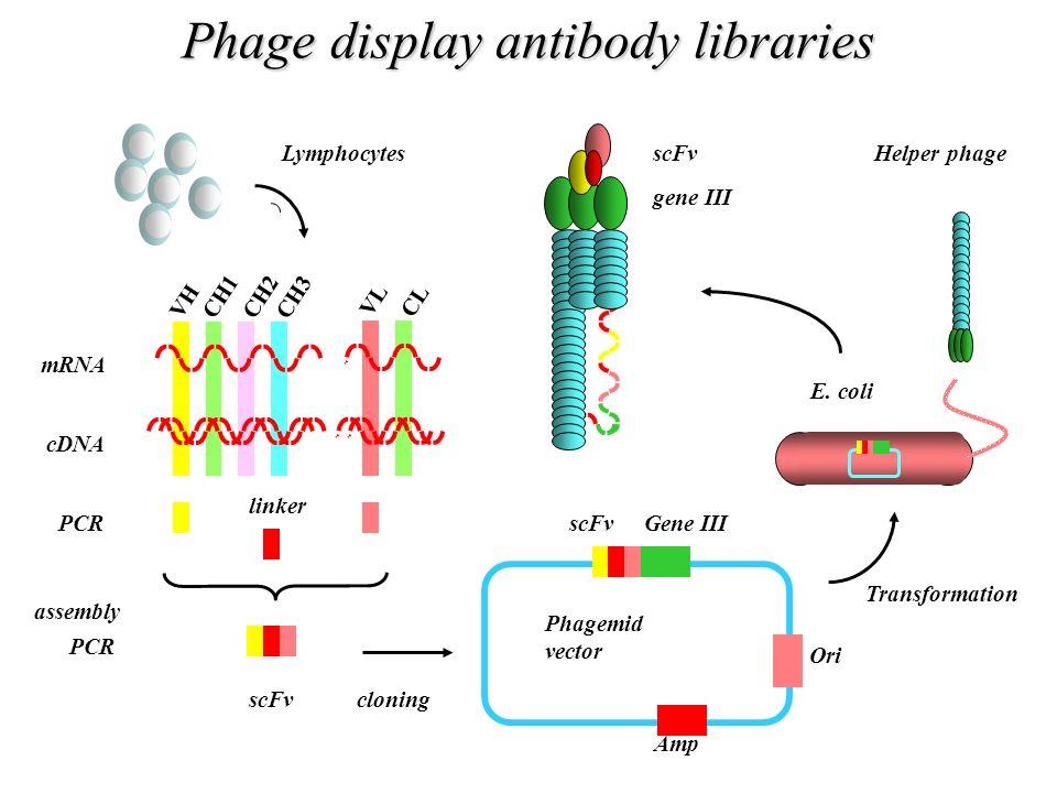 Phage display antibody libraries mRNA cDNA PCR assembly PCR Helper phageLymphocytes VH CH1 CH2 CH3 VL CL linker scFvcloning Amp Gene IIIscFv Phagemid