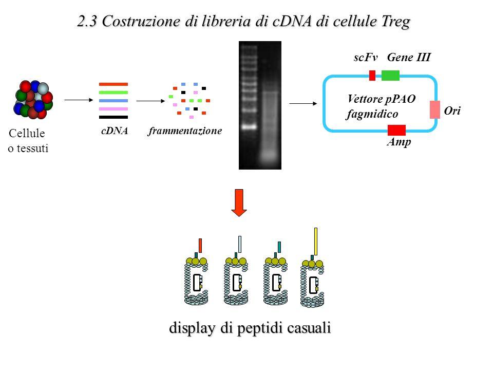 Amp Gene IIIscFv Vettore pPAO fagmidico Ori cDNAframmentazione Cellule o tessuti 2.3 Costruzione di libreria di cDNA di cellule Treg