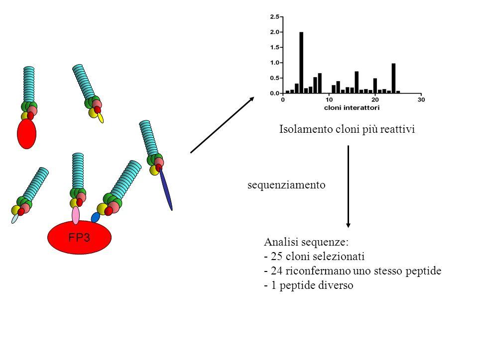 FP3 Isolamento cloni più reattivi sequenziamento Analisi sequenze: - 25 cloni selezionati - 24 riconfermano uno stesso peptide - 1 peptide diverso