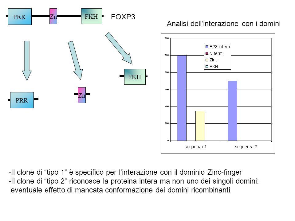 ZnFKH PRR FOXP3 PRR Zn FKH Analisi dellinterazione con i domini -Il clone di tipo 1 è specifico per linterazione con il dominio Zinc-finger -Il clone
