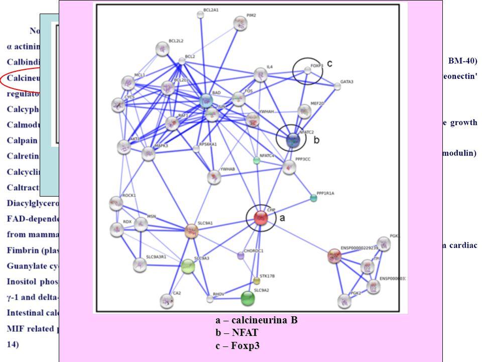 Analisi di omologia clone isolato con dominio EFH della calcineurina B a – calcineurina B b – NFAT c – Foxp3