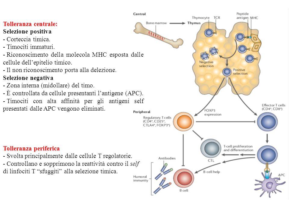 Tolleranza periferica - Svolta principalmente dalle cellule T regolatorie. - Controllano e sopprimono la reattività contro il self di linfociti T sfug