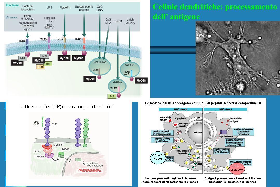 Cellule dendritiche: processamento dell antigene