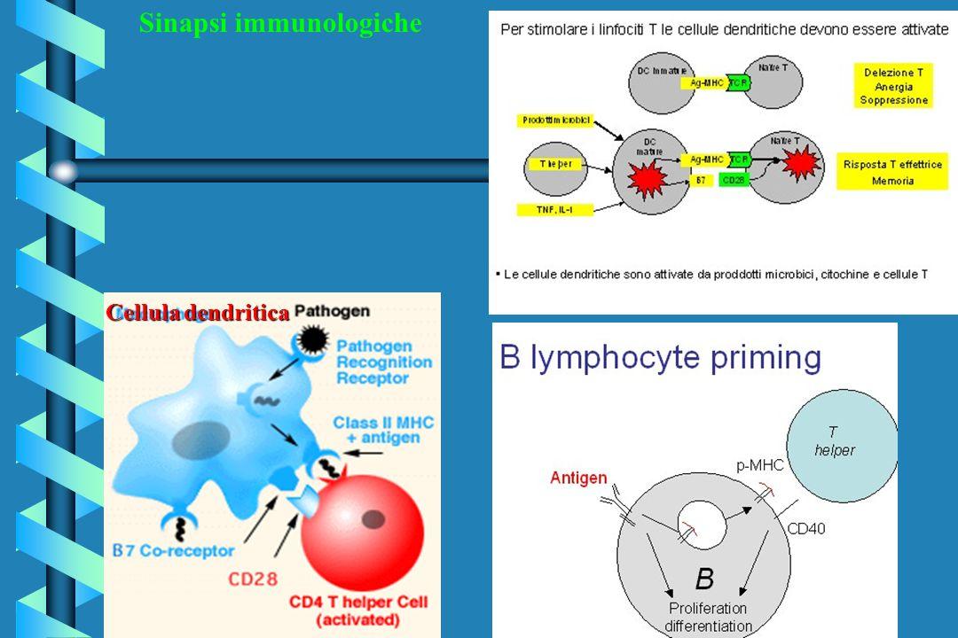 Sinapsi immunologiche Cellula dendritica