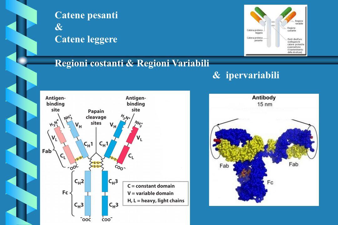 IMMUNOLOGIA Meccanismi di tolleranza - Tolleranza centrale - Tolleranza periferica - incapacita di fornire il secondo segnale - mancata cooperazione tra T helper e B - attivazione di cloni di linfociti T suppressor - ridotta produzione di Il-2 - induzione di anticorpi anti-idiotipo ad attivita regolatoria