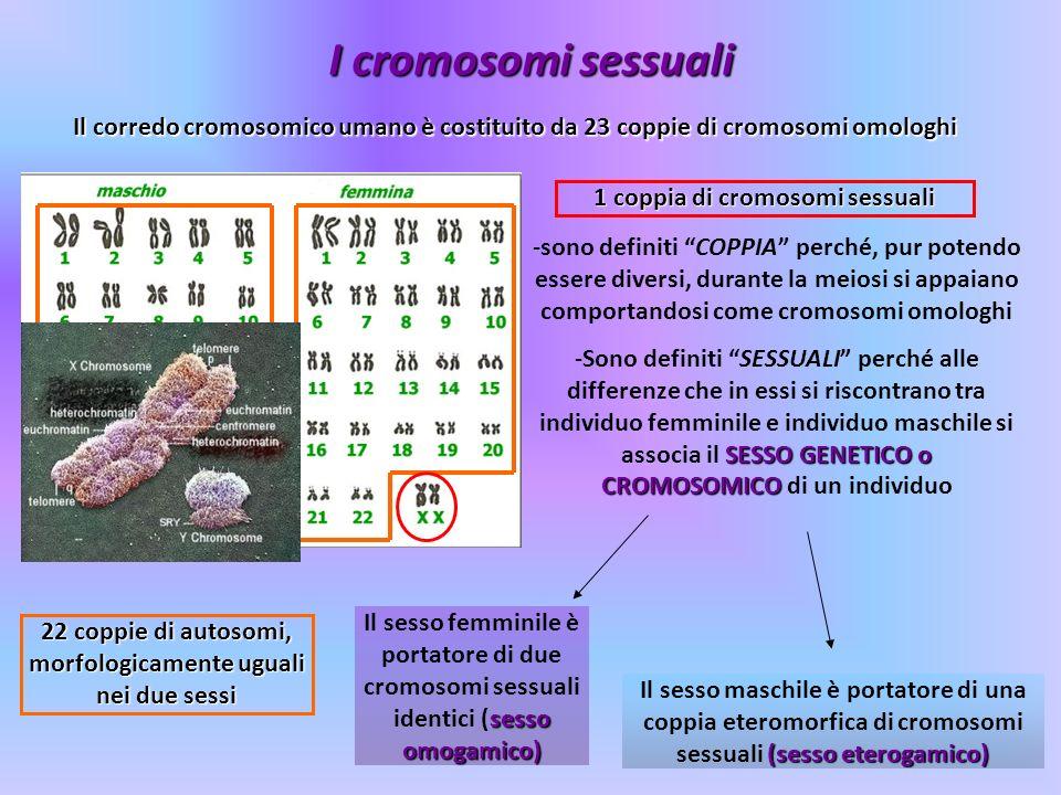 I cromosomi sessuali Il corredo cromosomico umano è costituito da 23 coppie di cromosomi omologhi 22 coppie di autosomi, morfologicamente uguali nei d