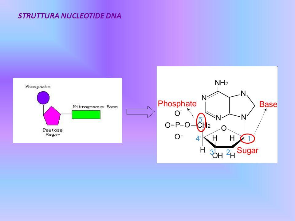 STRUTTURA NUCLEOTIDE DNA 1 23 4 5