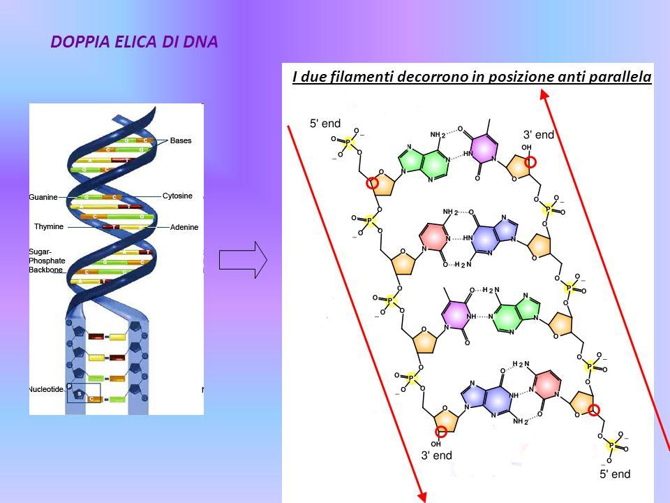 DOPPIA ELICA DI DNA I due filamenti decorrono in posizione anti parallela
