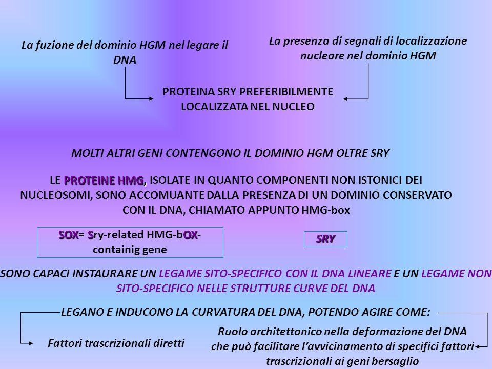 MOLTI ALTRI GENI CONTENGONO IL DOMINIO HGM OLTRE SRY SOX SOX SOX= Sry-related HMG-bOX- containig gene SRY La fuzione del dominio HGM nel legare il DNA