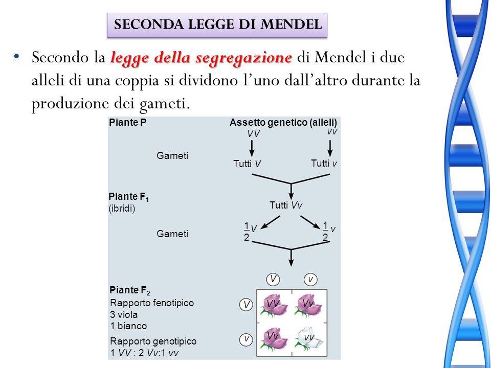 Piante P Gameti Assetto genetico (alleli) Gameti Piante F 1 (ibridi) Piante F 2 VV vv Tutti V Tutti v Tutti Vv 1212 V V V v v VV Vv vv Rapporto genoti