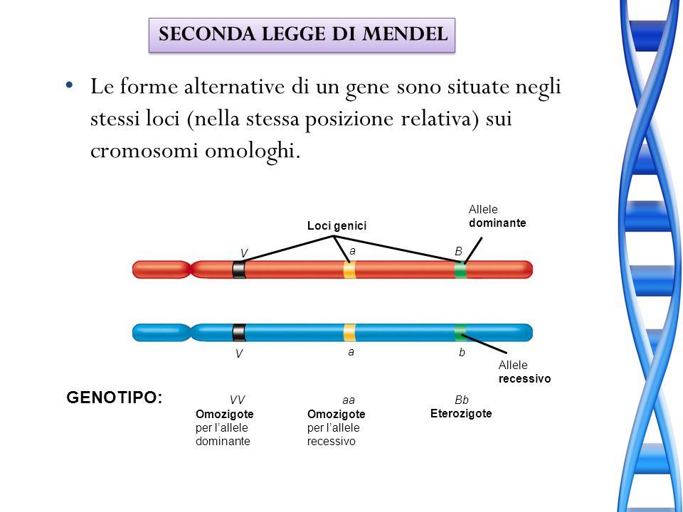 Le forme alternative di un gene sono situate negli stessi loci (nella stessa posizione relativa) sui cromosomi omologhi. GENOTIPO: VVaaBb Eterozigote