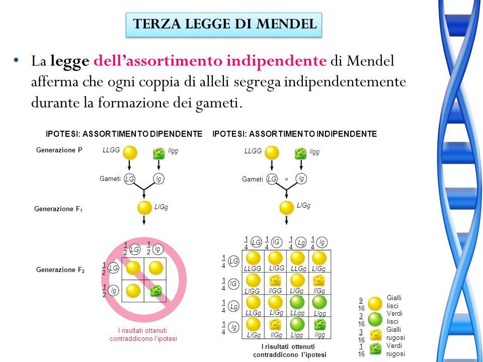 La legge dellassortimento indipendente di Mendel afferma che ogni coppia di alleli segrega indipendentemente durante la formazione dei gameti. Gameti