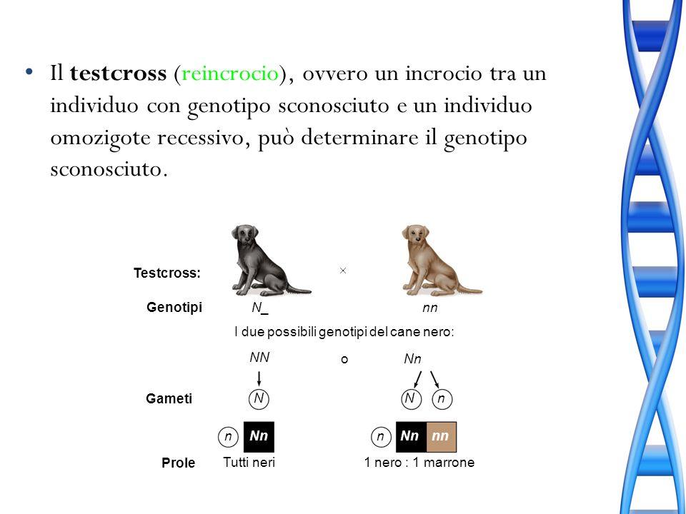 Il testcross (reincrocio), ovvero un incrocio tra un individuo con genotipo sconosciuto e un individuo omozigote recessivo, può determinare il genotip