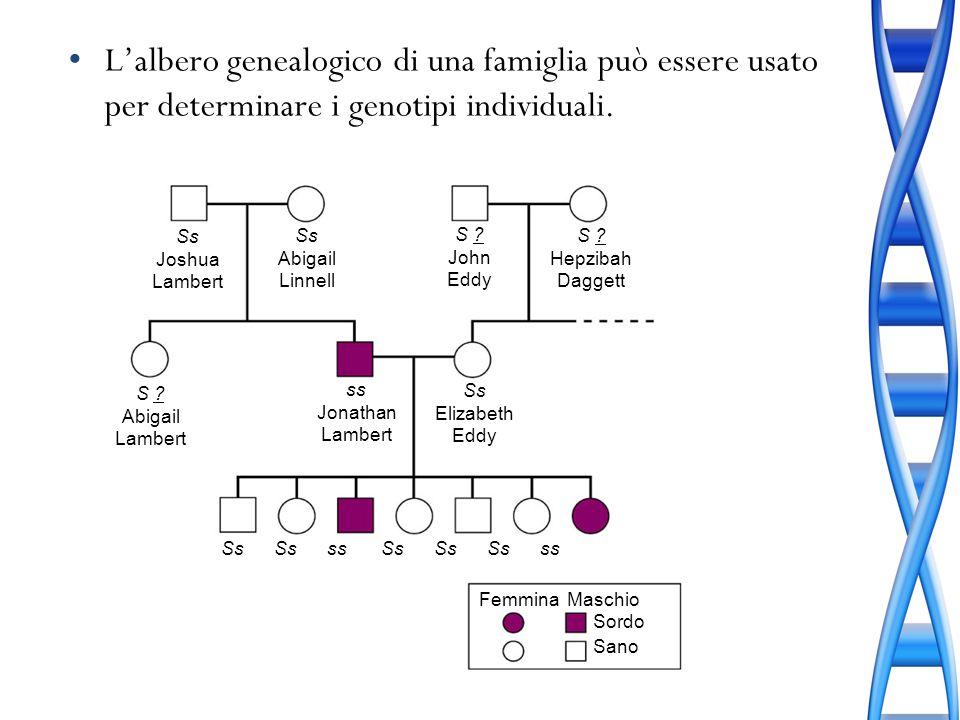 Lalbero genealogico di una famiglia può essere usato per determinare i genotipi individuali. Ss Joshua Lambert Ss Abigail Linnell S ? John Eddy S ? He