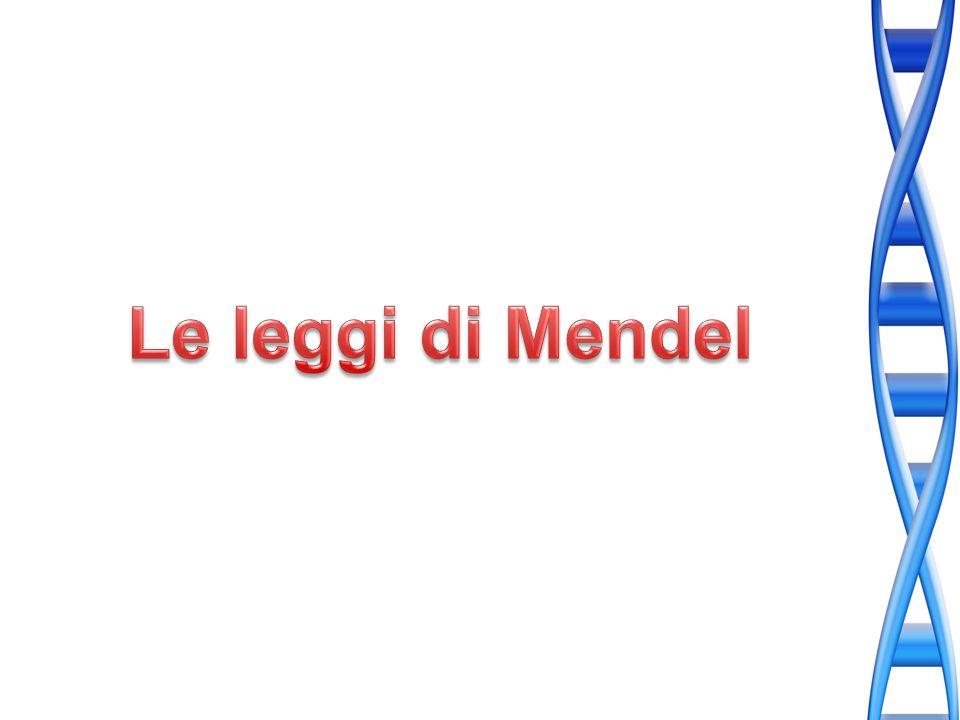 La legge dellassortimento indipendente di Mendel afferma che ogni coppia di alleli segrega indipendentemente durante la formazione dei gameti.