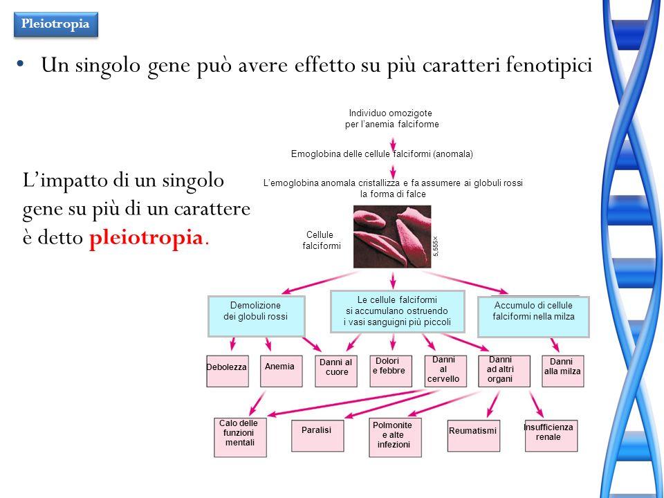 Individuo omozigote per lanemia falciforme Lemoglobina anomala cristallizza e fa assumere ai globuli rossi la forma di falce Emoglobina delle cellule
