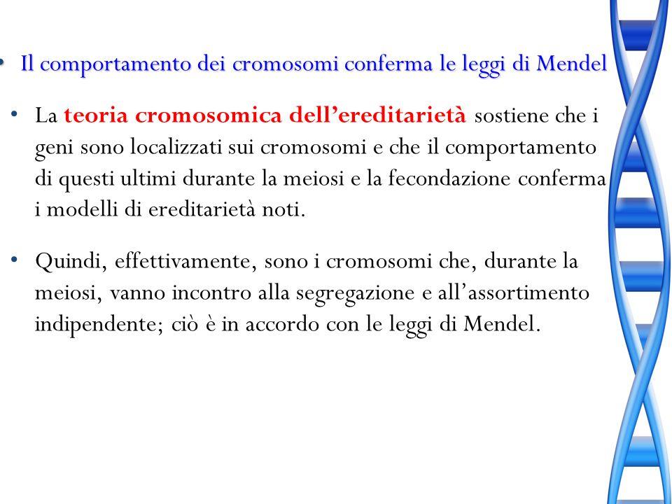 Il comportamento dei cromosomi conferma le leggi di Mendel Il comportamento dei cromosomi conferma le leggi di Mendel La teoria cromosomica delleredit