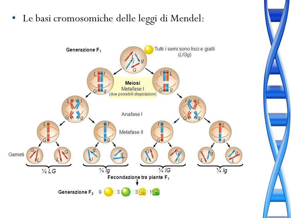 Le basi cromosomiche delle leggi di Mendel: Tutti i semi sono lisci e gialli (LlGg) Meiosi Metafase I (due possibili disposizioni) Anafase I Metafase