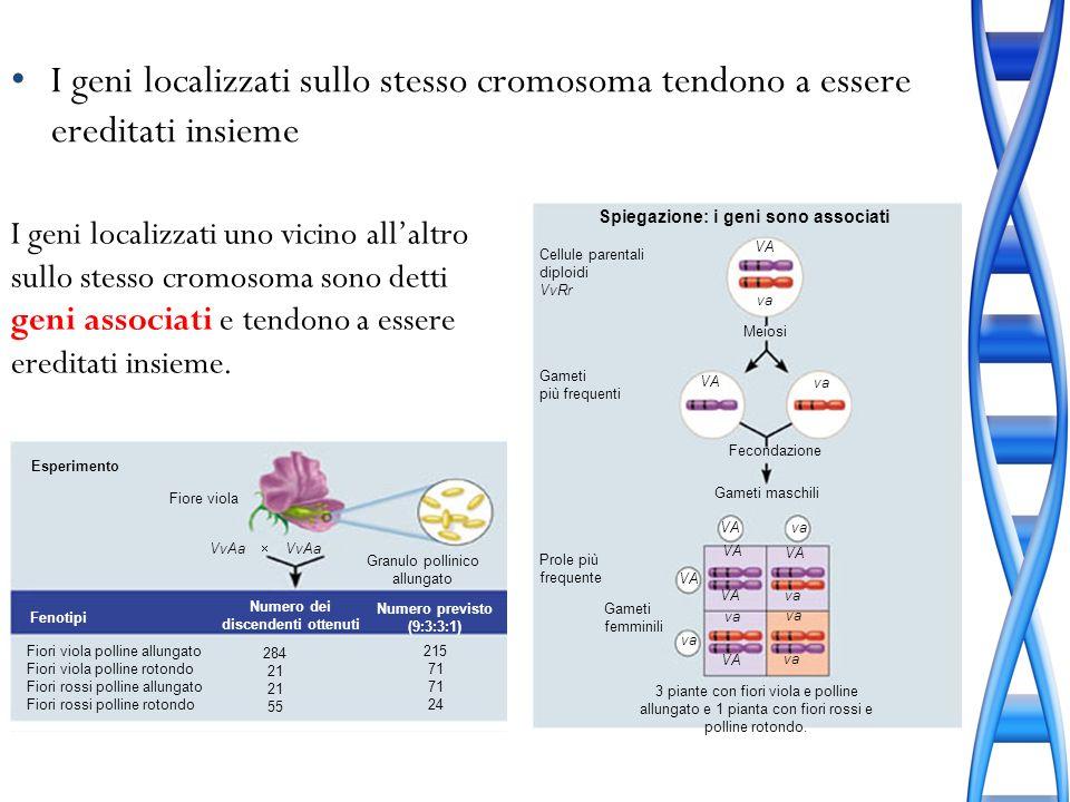 I geni localizzati sullo stesso cromosoma tendono a essere ereditati insieme I geni localizzati uno vicino allaltro sullo stesso cromosoma sono detti